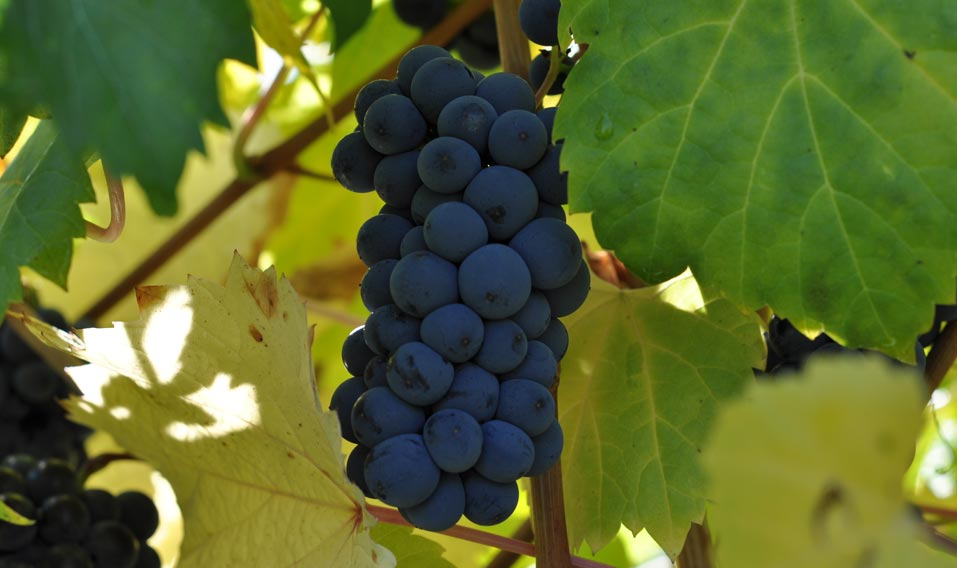 Cluster of Grapes - Slider Pic